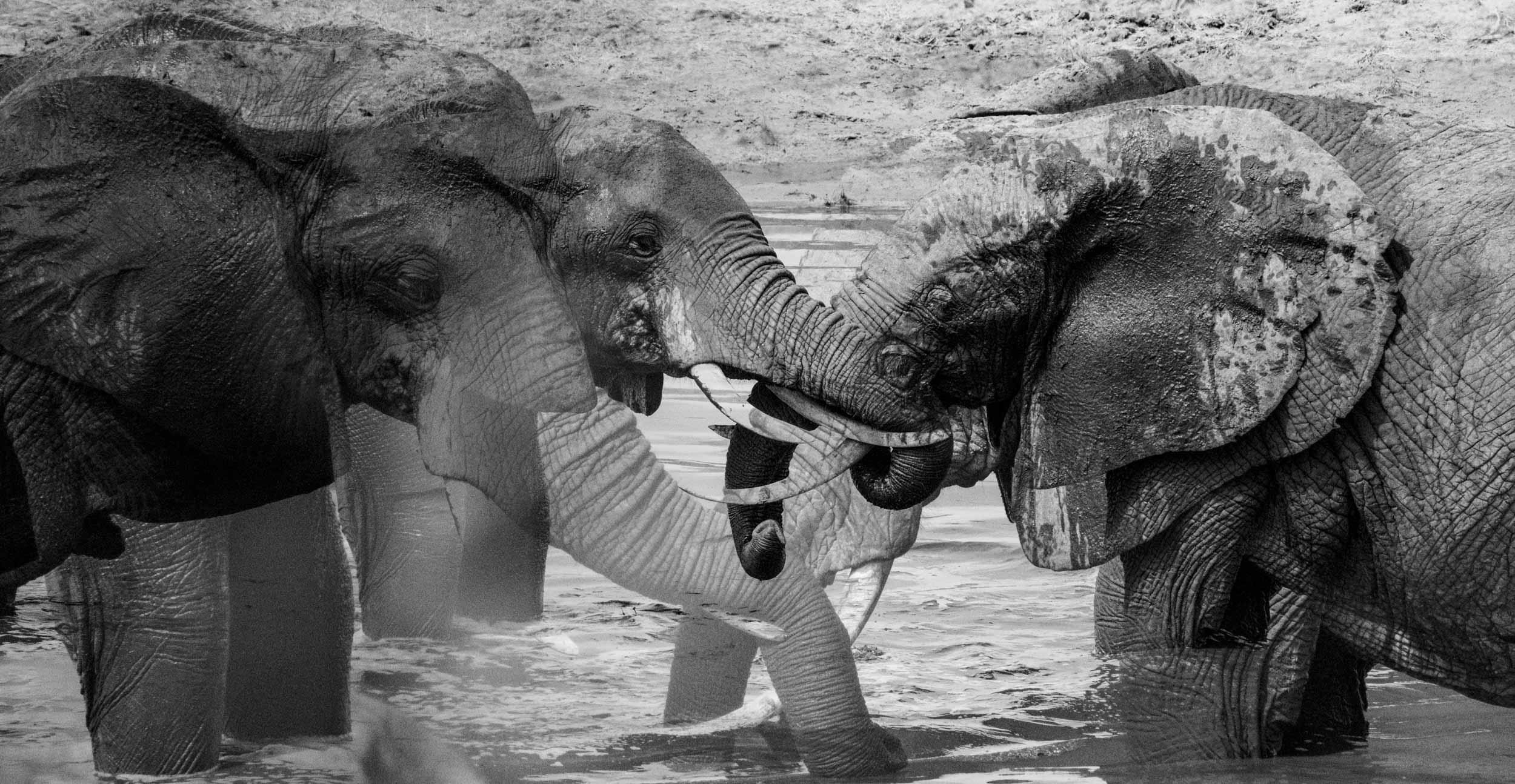 elephant herd multiple exposure.jpg