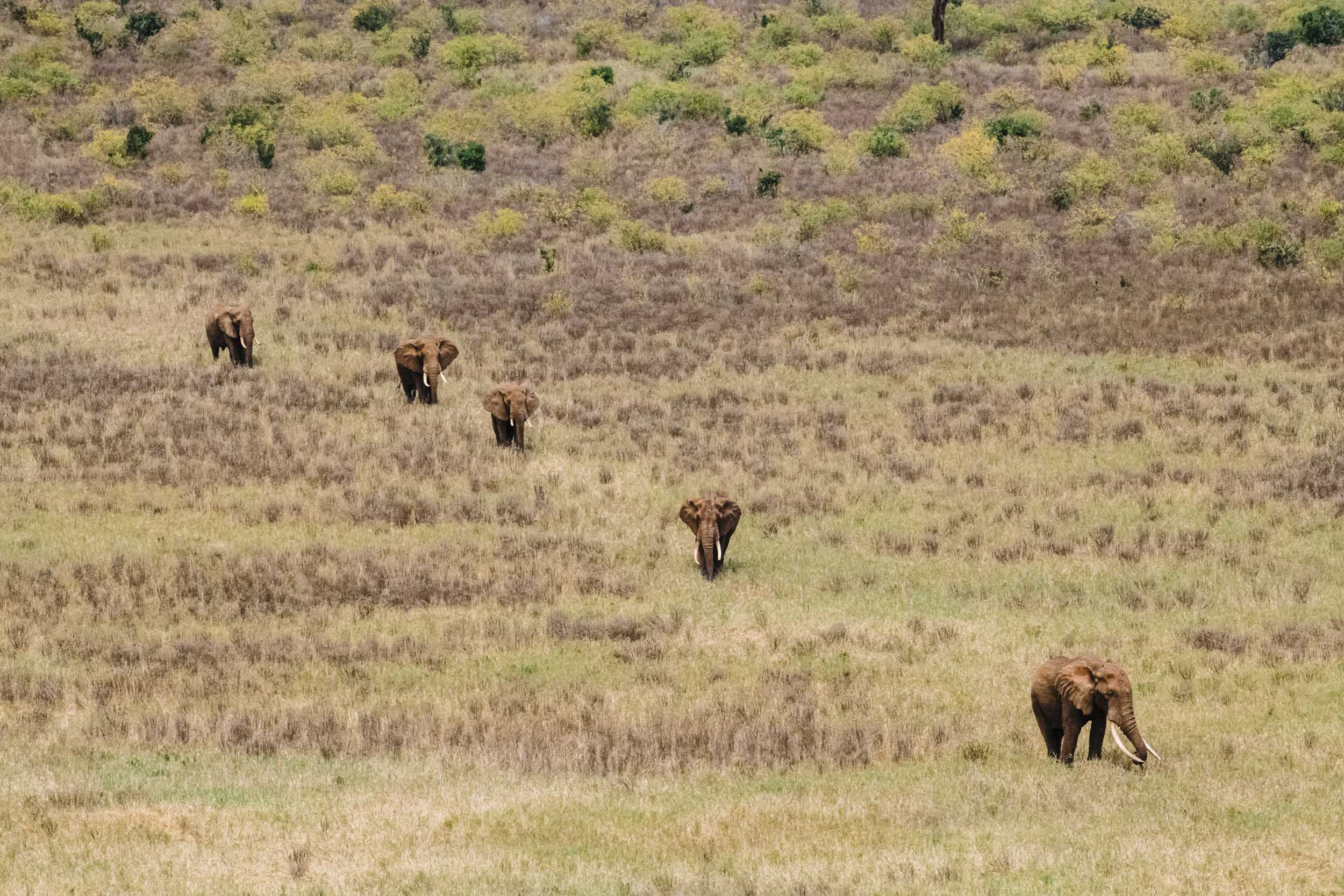 Herd of elephants diagonal line african savannah.jpg