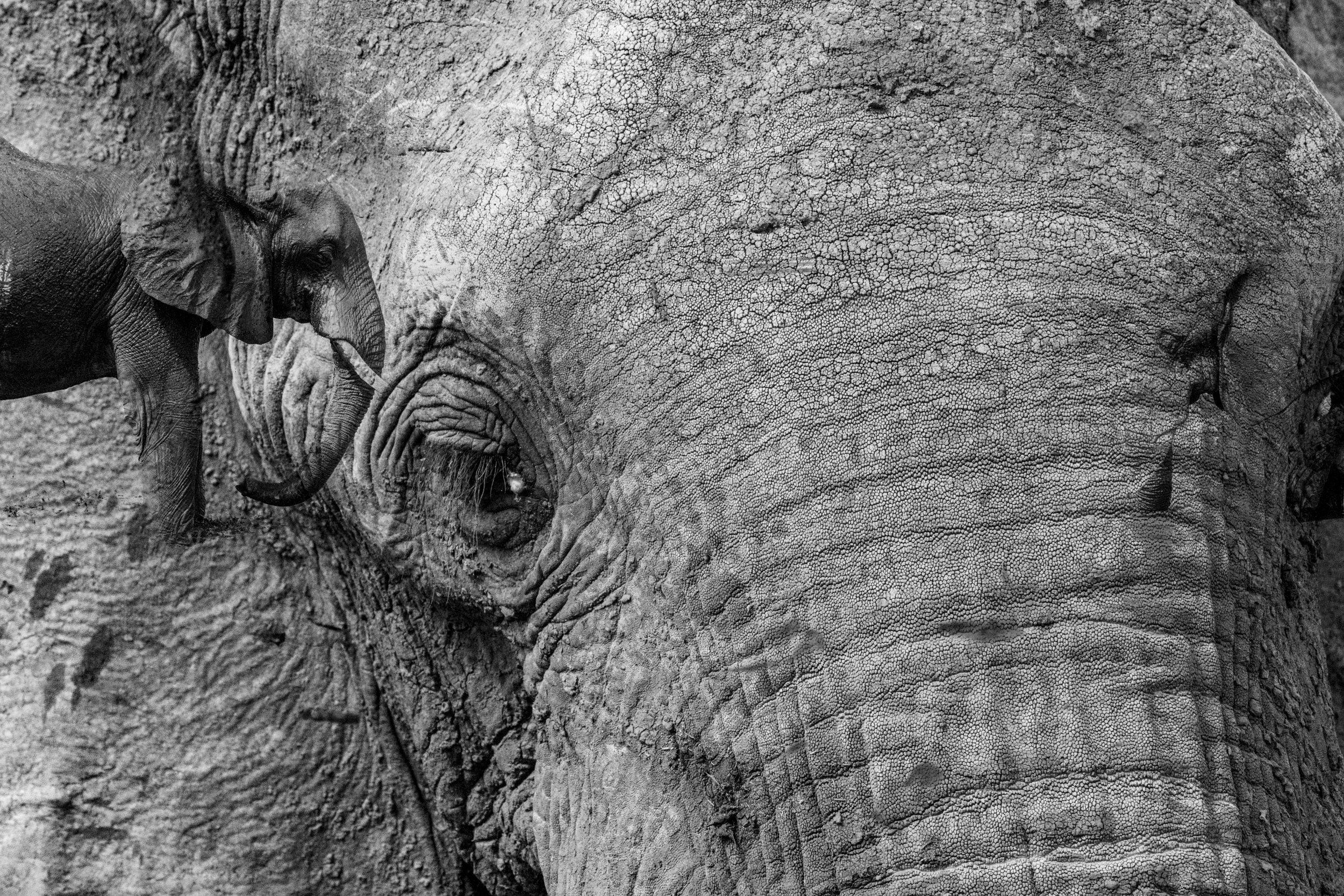 Elephant multiple exposure.jpg