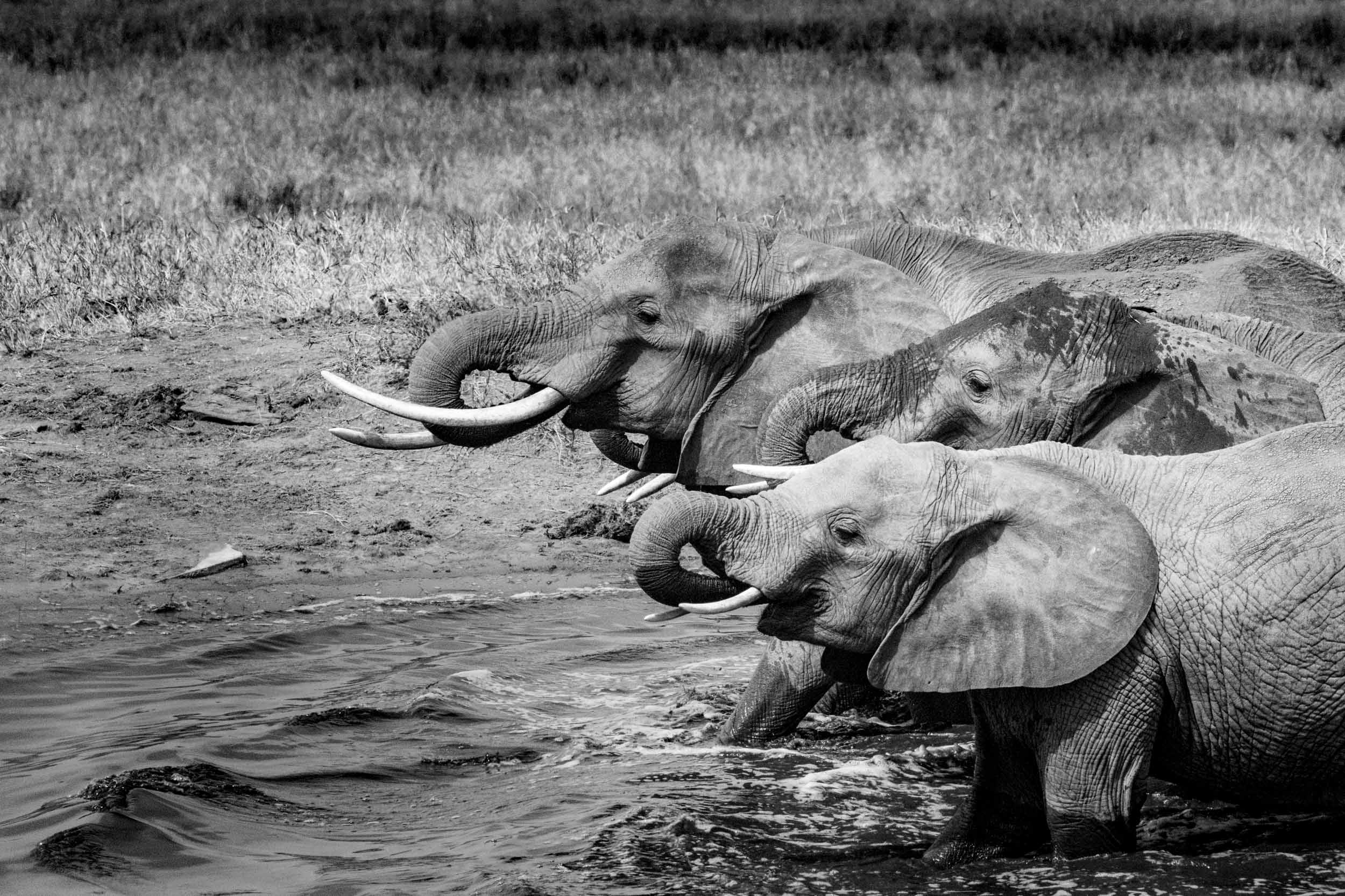 three baby elephants playing in the water.jpg