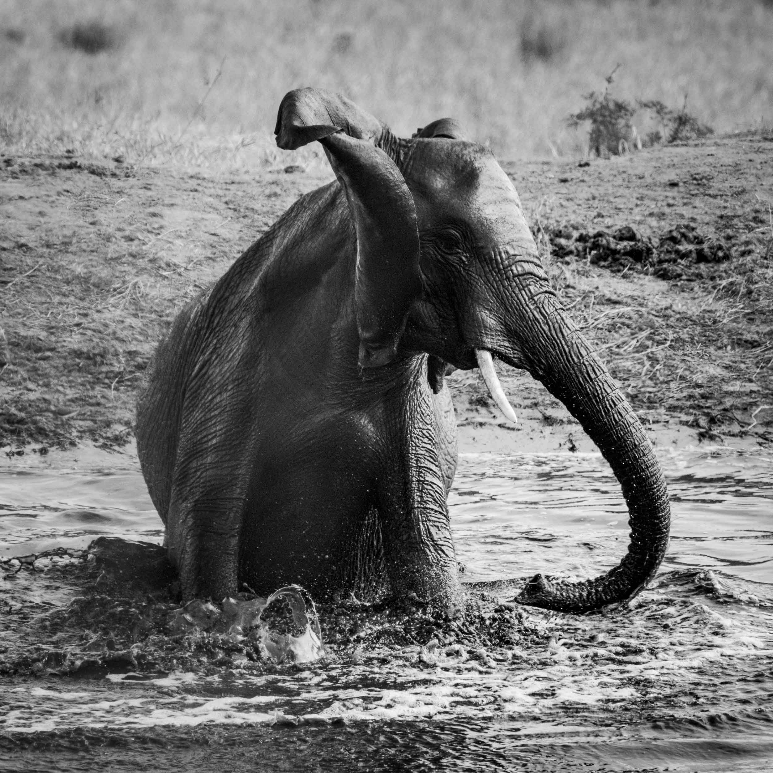 baby elephant playing in the water BW.jpg