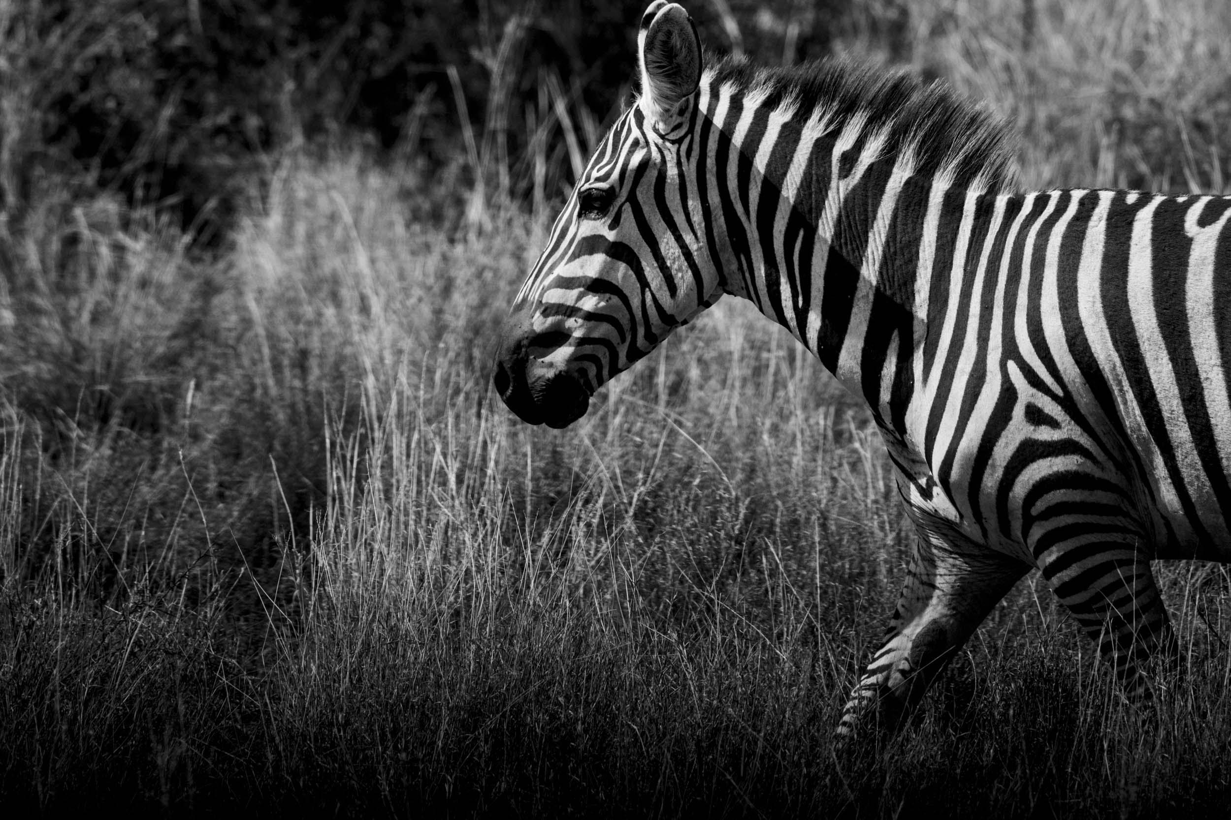 Zebra grass running.jpg