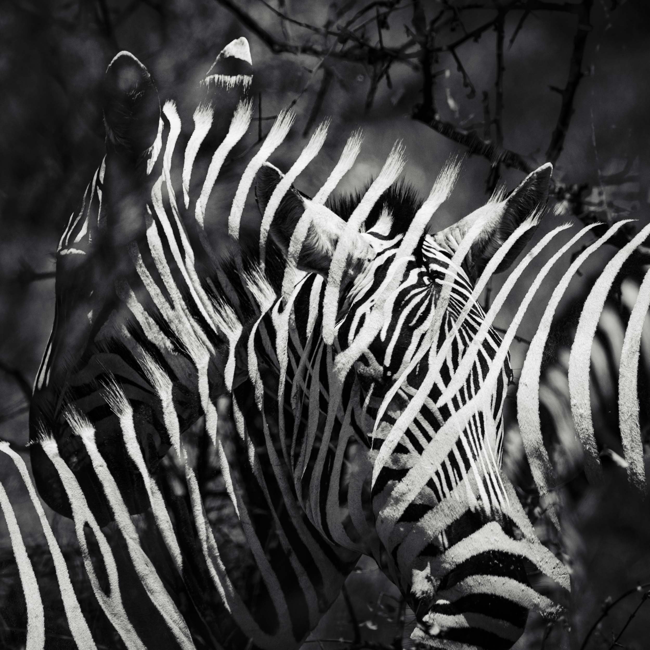 Zebra love multiple exposure.jpg