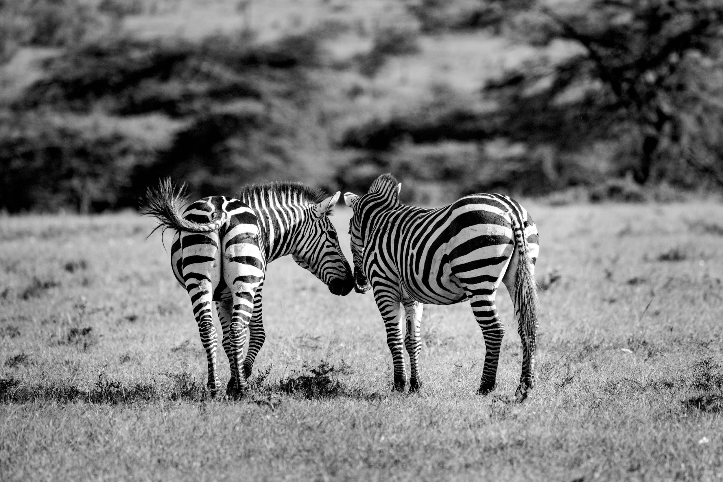 Two zebras showing love.jpg