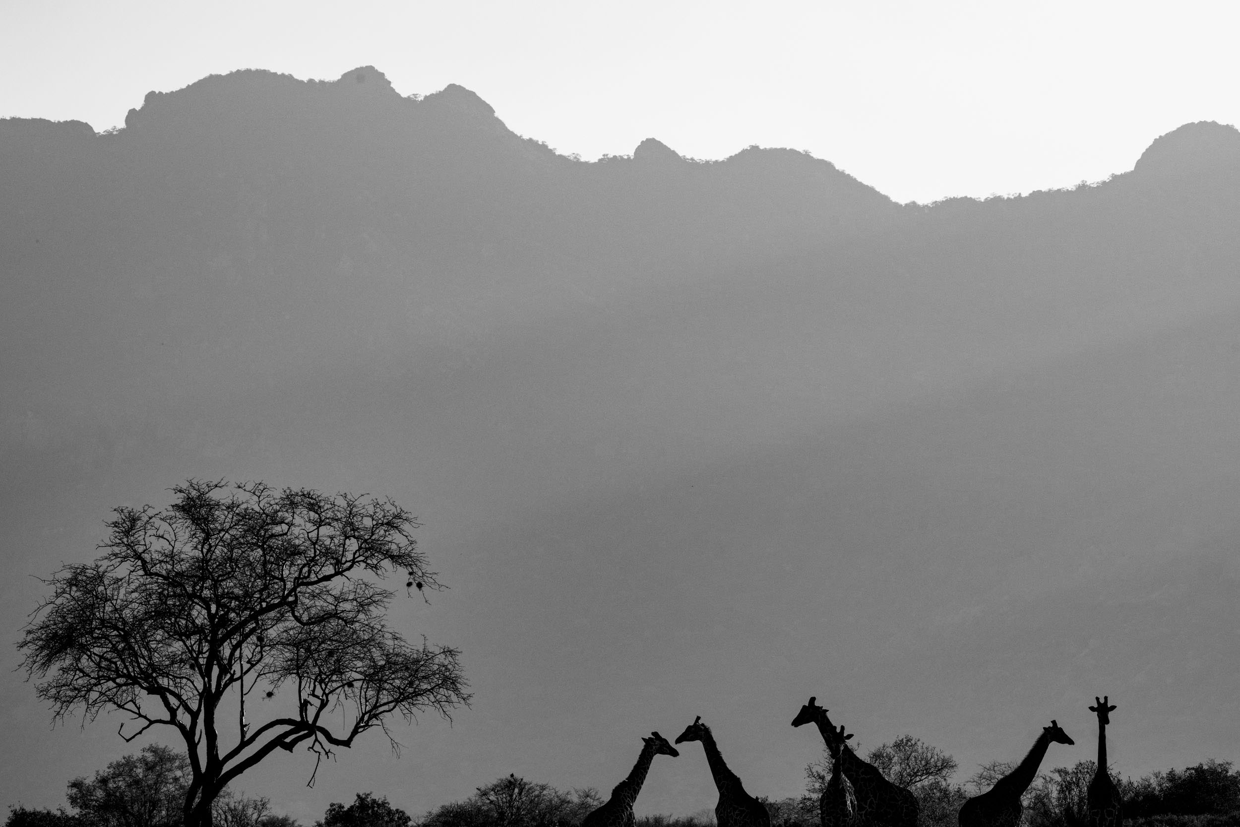 Black and white giraffes silhouette.jpg
