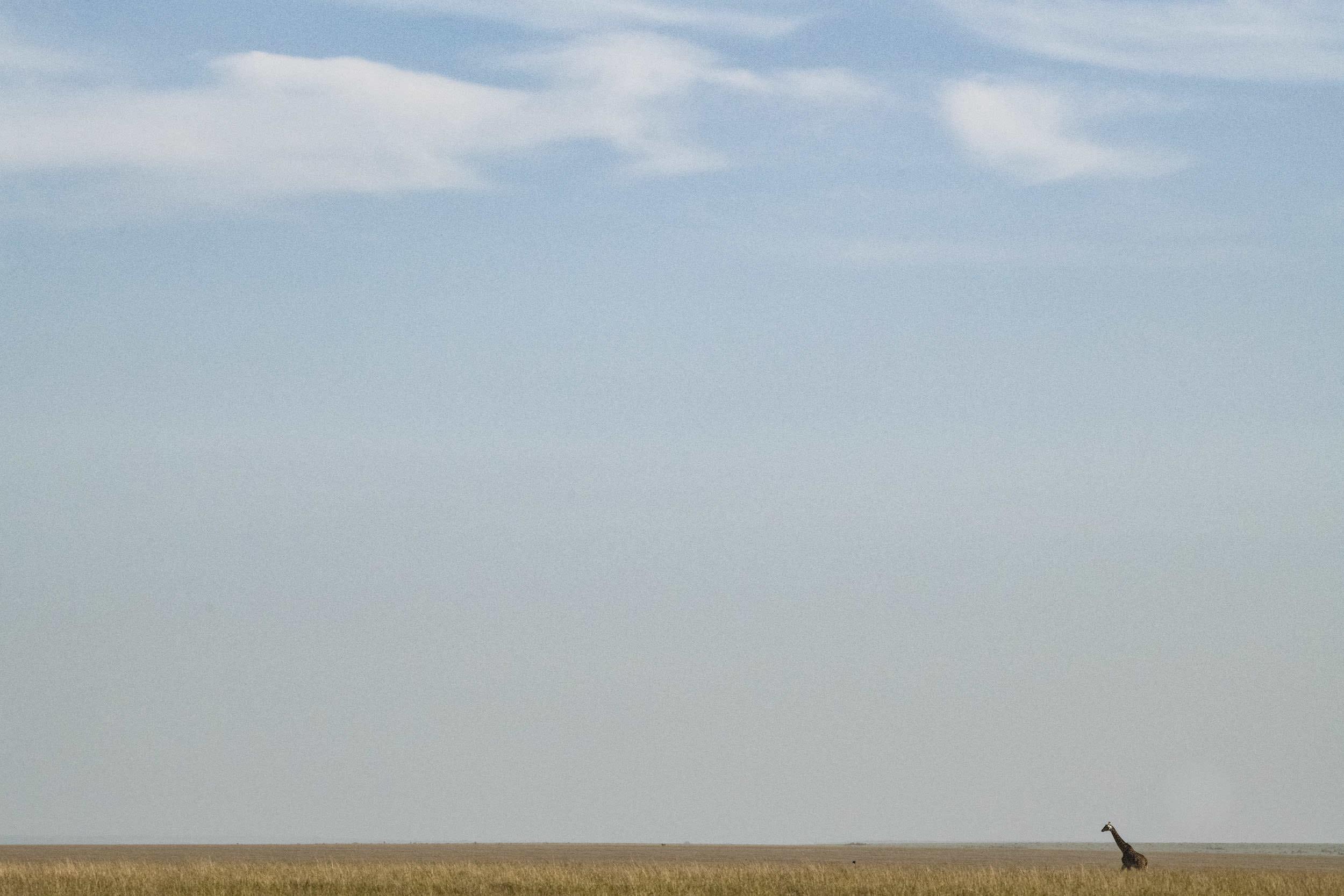 Single giraffe on African savannah landscape.jpg