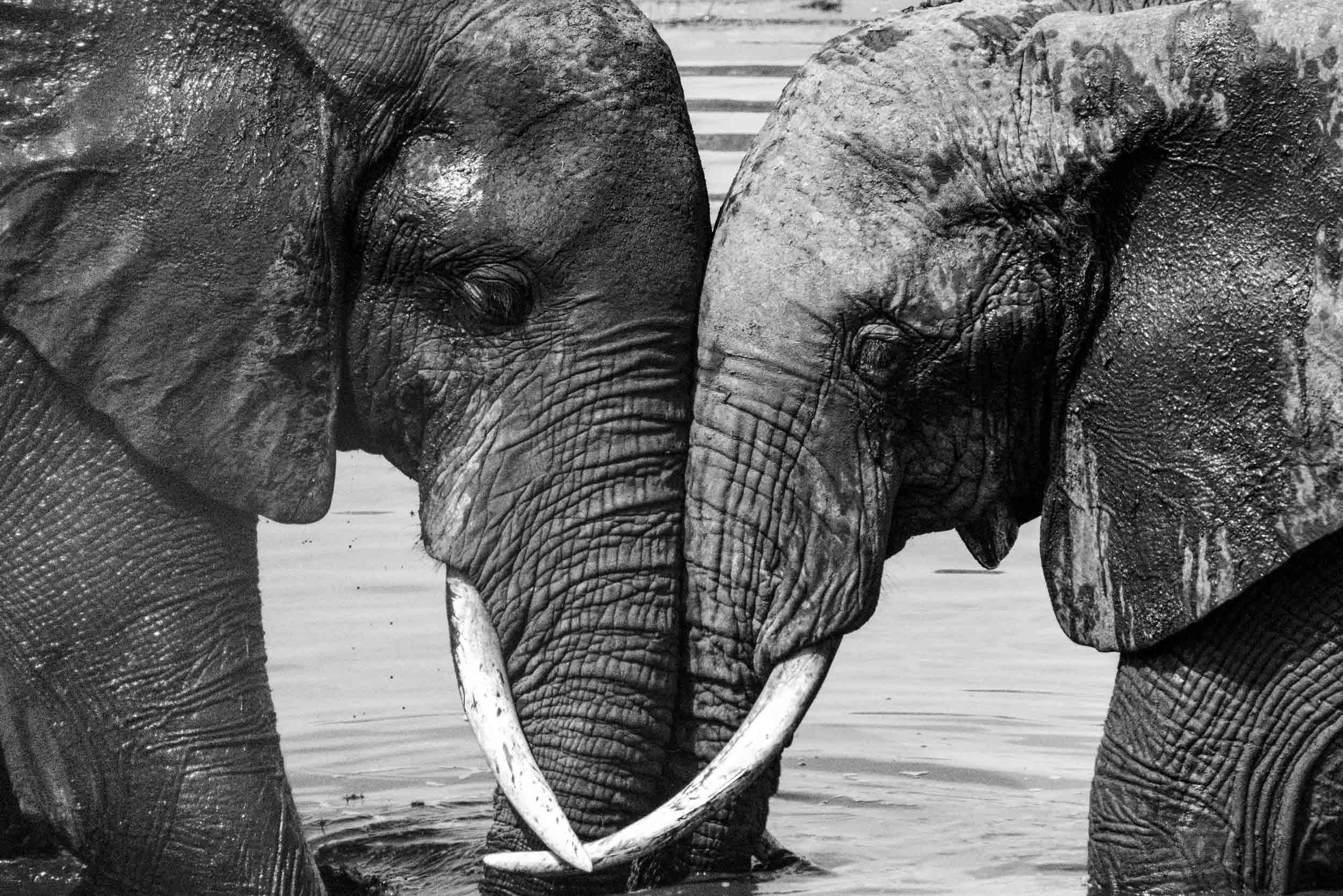 Elephant love black and white.jpg