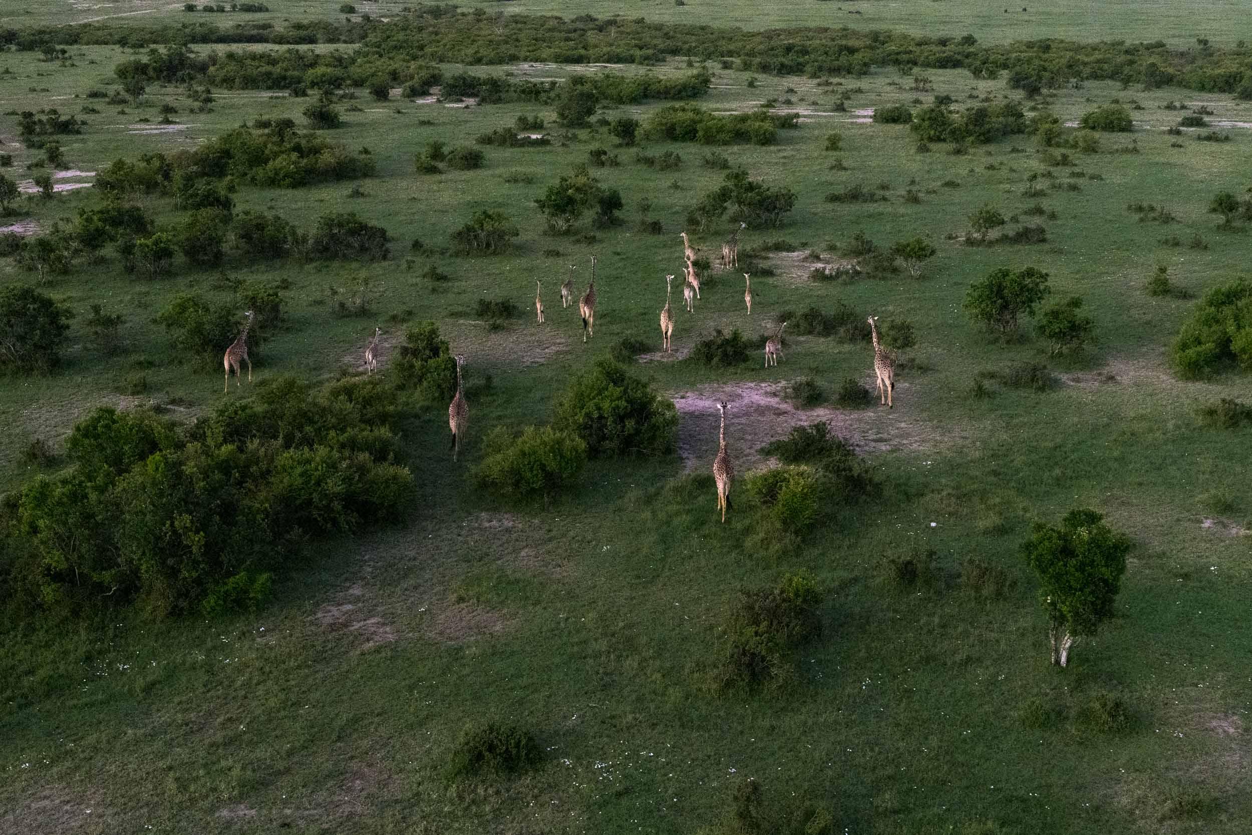 Giraffe herd aerial view.jpg
