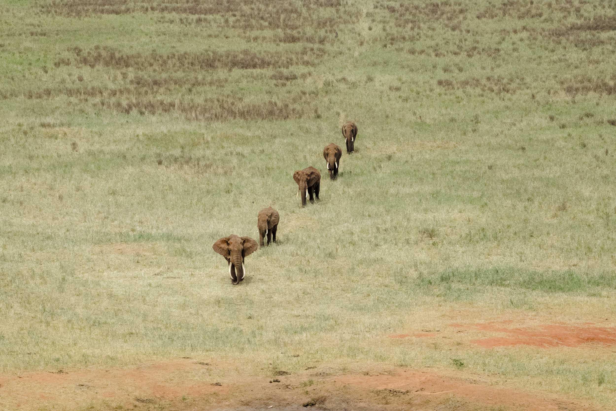 Eleplant herd family African savannah diagonal line.jpg