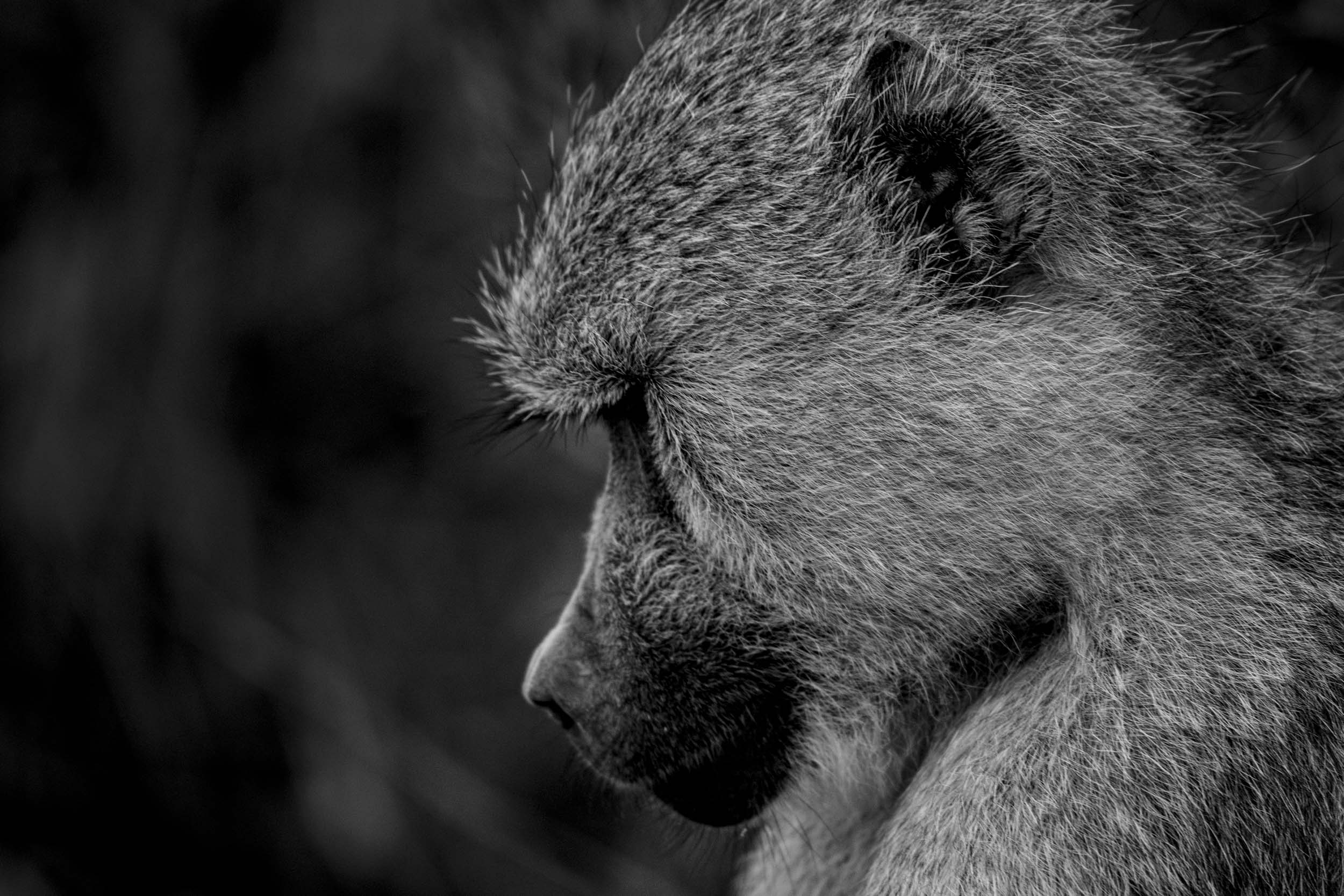 Baboon pondering black and white.jpg