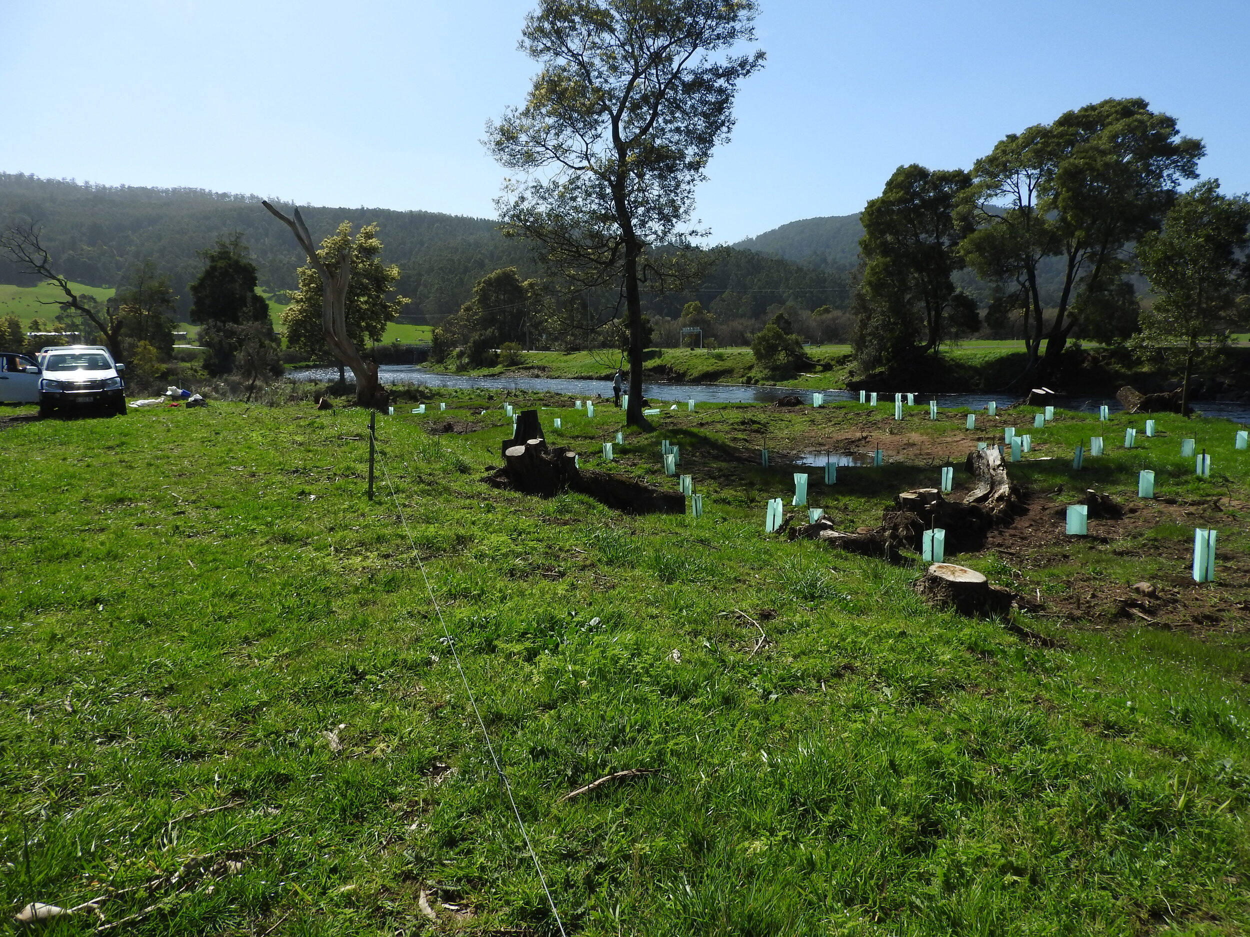 Willows gone riparian planting in