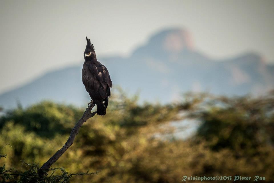 Falcon-Shaba-0513.jpg