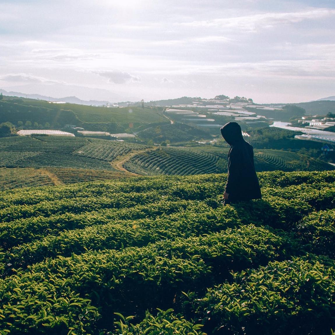 teaplant.jpg