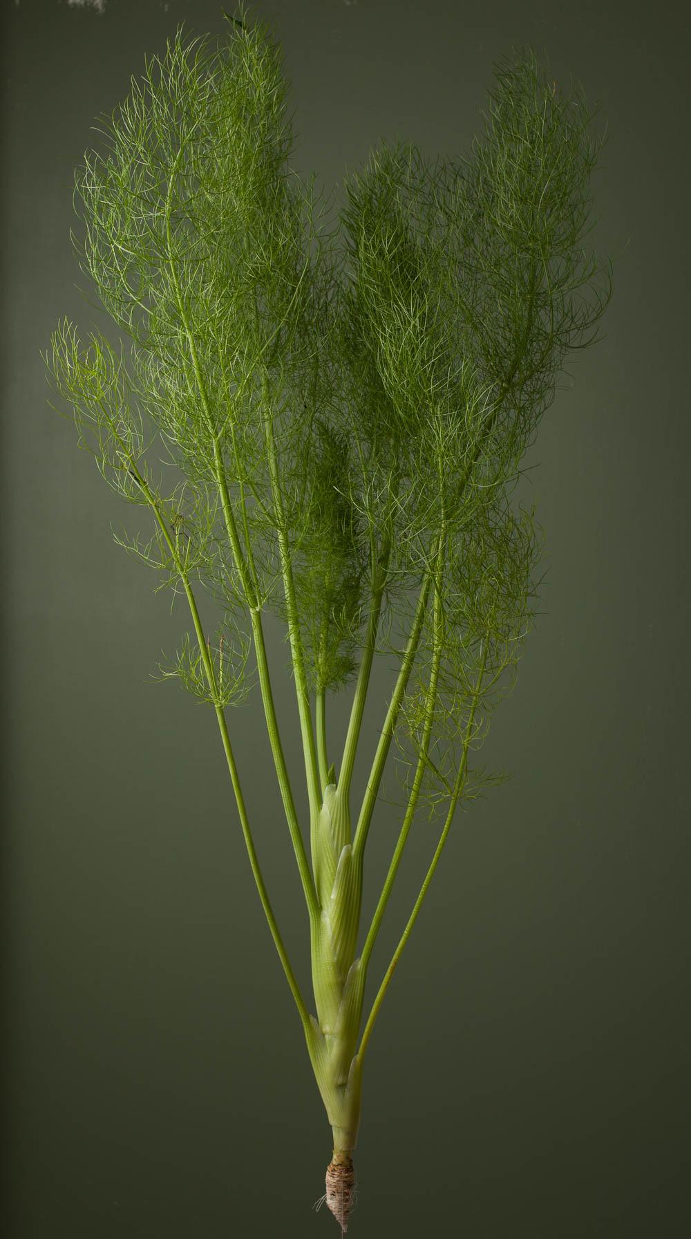 fennel-green-2038.jpg