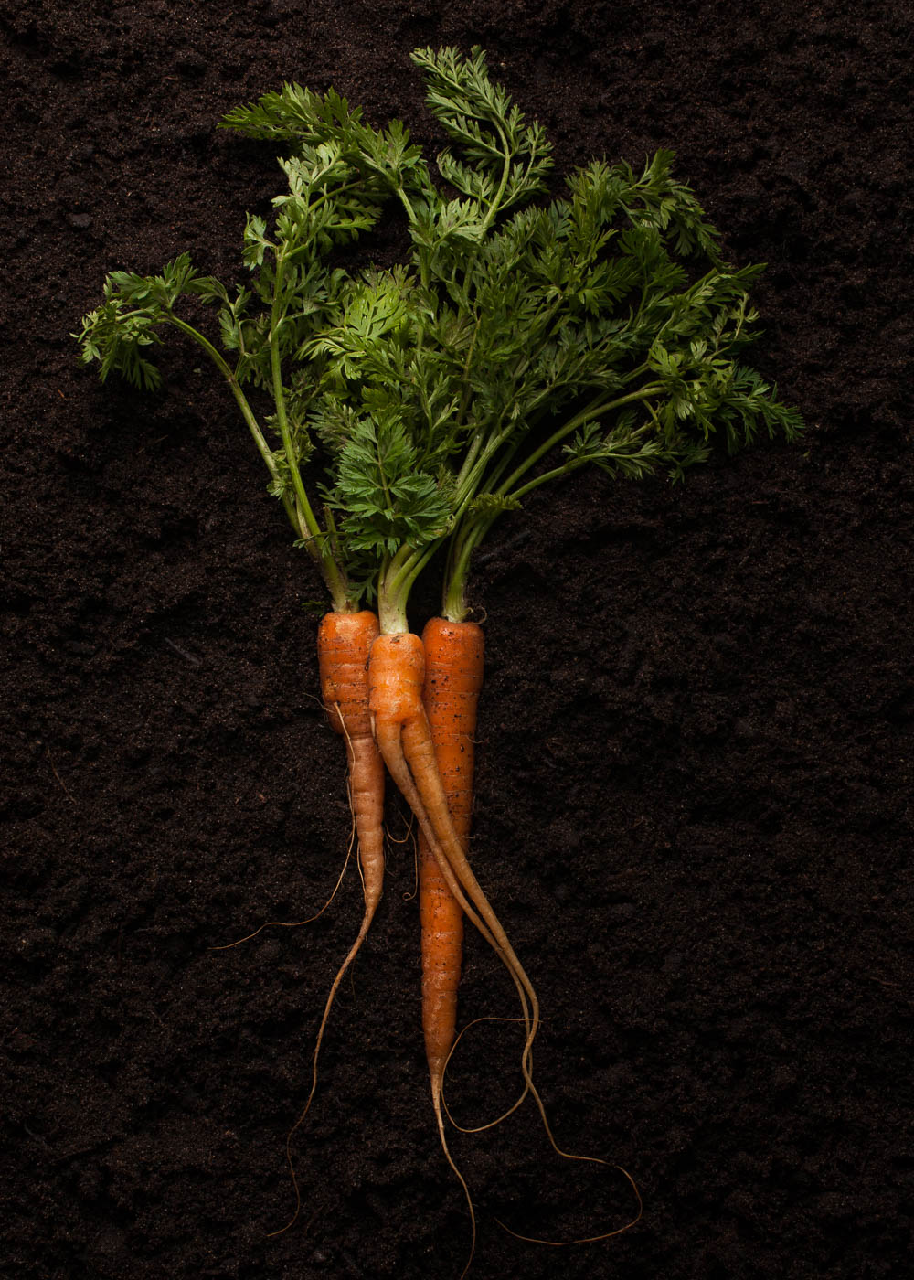 organic carrots with leaves on a soil background