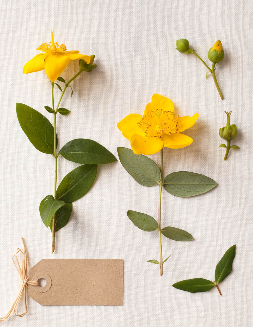 Photograph of yellow St John's Wort flowers for Quarto Publishing