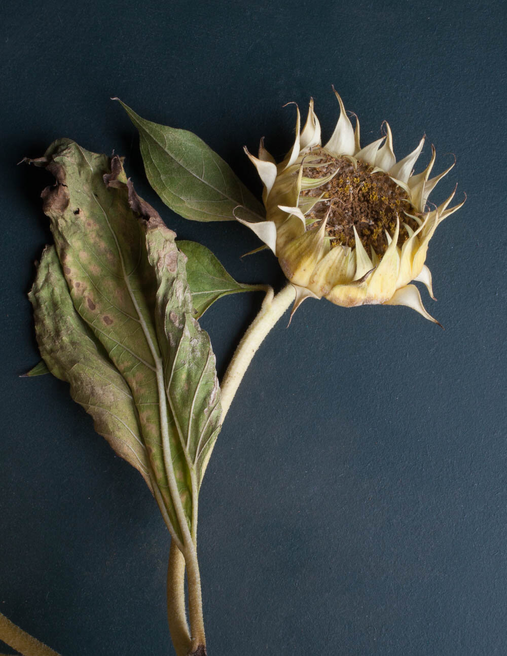 Photograph of fading / decaying sunflower on a dark blue green background