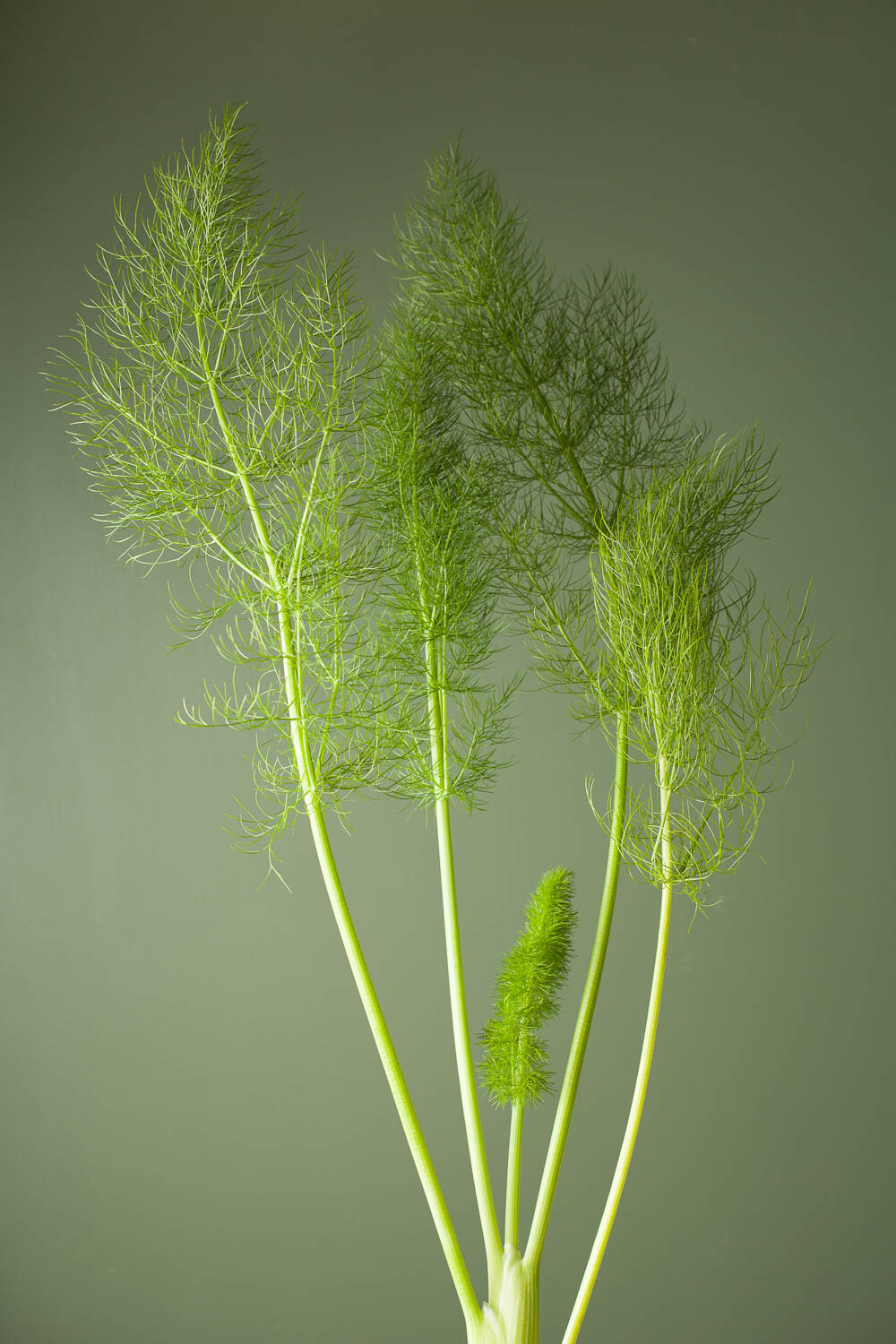 fennel fronds / fennel plant with green background