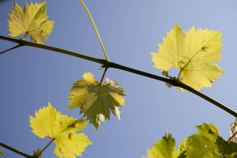 emmatsrobinson-fieldtofork-grapevine20190725-_MG_5691.jpg