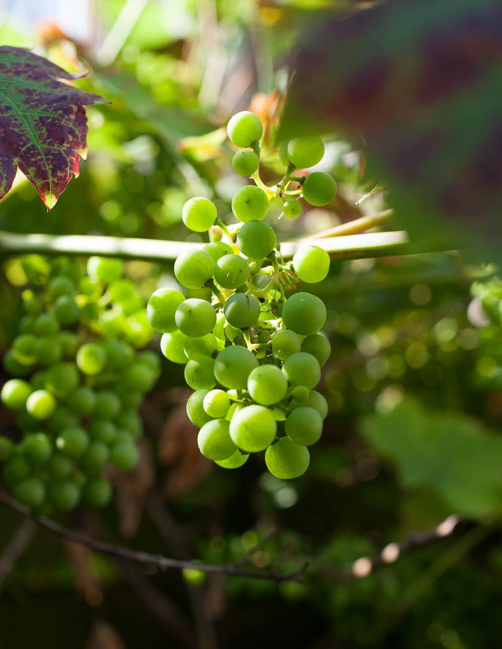 emmatsrobinson-fieldtofork-grapevine20190725-_MG_5701.jpg