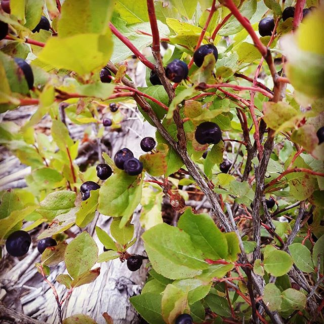 Huckleberries yummmm...... #farnorthoutfitters #farnorth #hiking #getoutside #outdoors #guns #backpack #travel #trails #goodlife #huckleberry