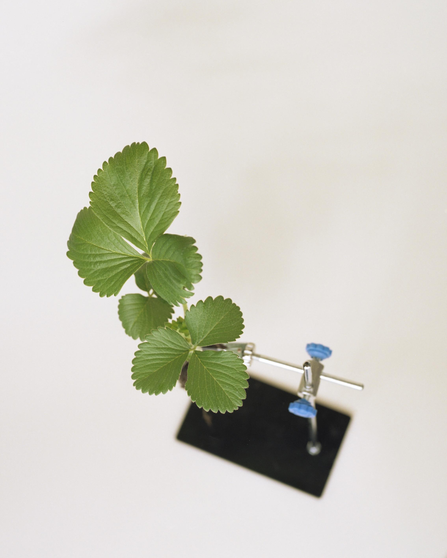Strawberry Plant Variety Inspire ®