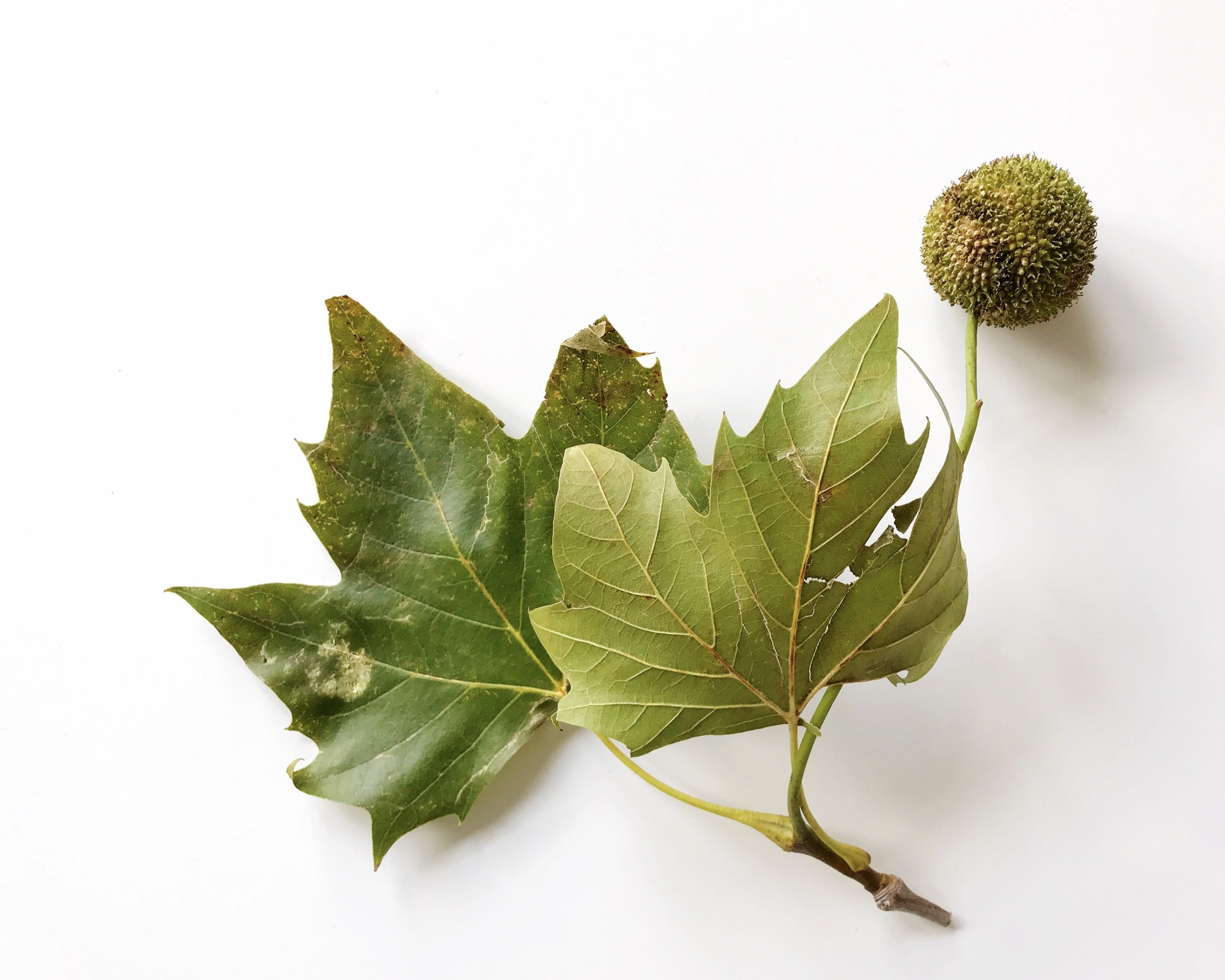 here's the photo I chose to draw - still life of london plane tree leaves and seed pod