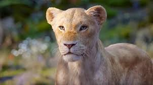 Nala, voiced by Beyonce, shows she is a Lion Queen, with many lessons for women leaders. (Disney photo)