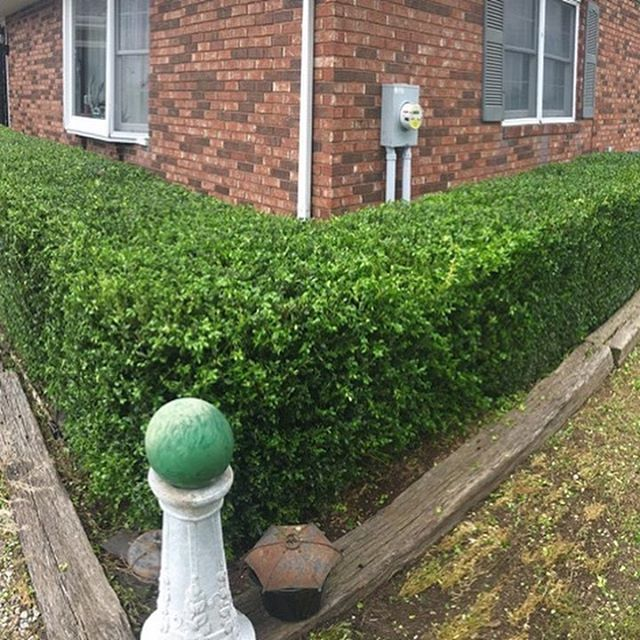That just feels better. I sure would like to come home to this nice looking hedge everyday. How about you?
