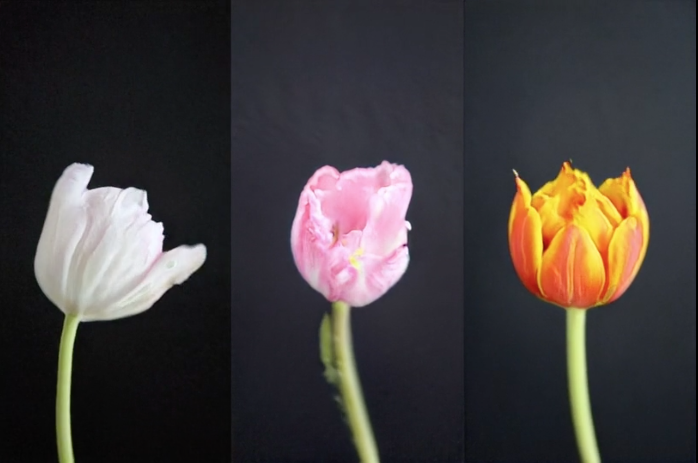 "Mosaic Virus - Drawing historical parallels from ""tulip-mania"" that swept across Europe in the 1630s to the current speculation around crypto-currencies, this video work is generated by AI. It shows a tulip blooming, in correlation with the value of bitcoin."