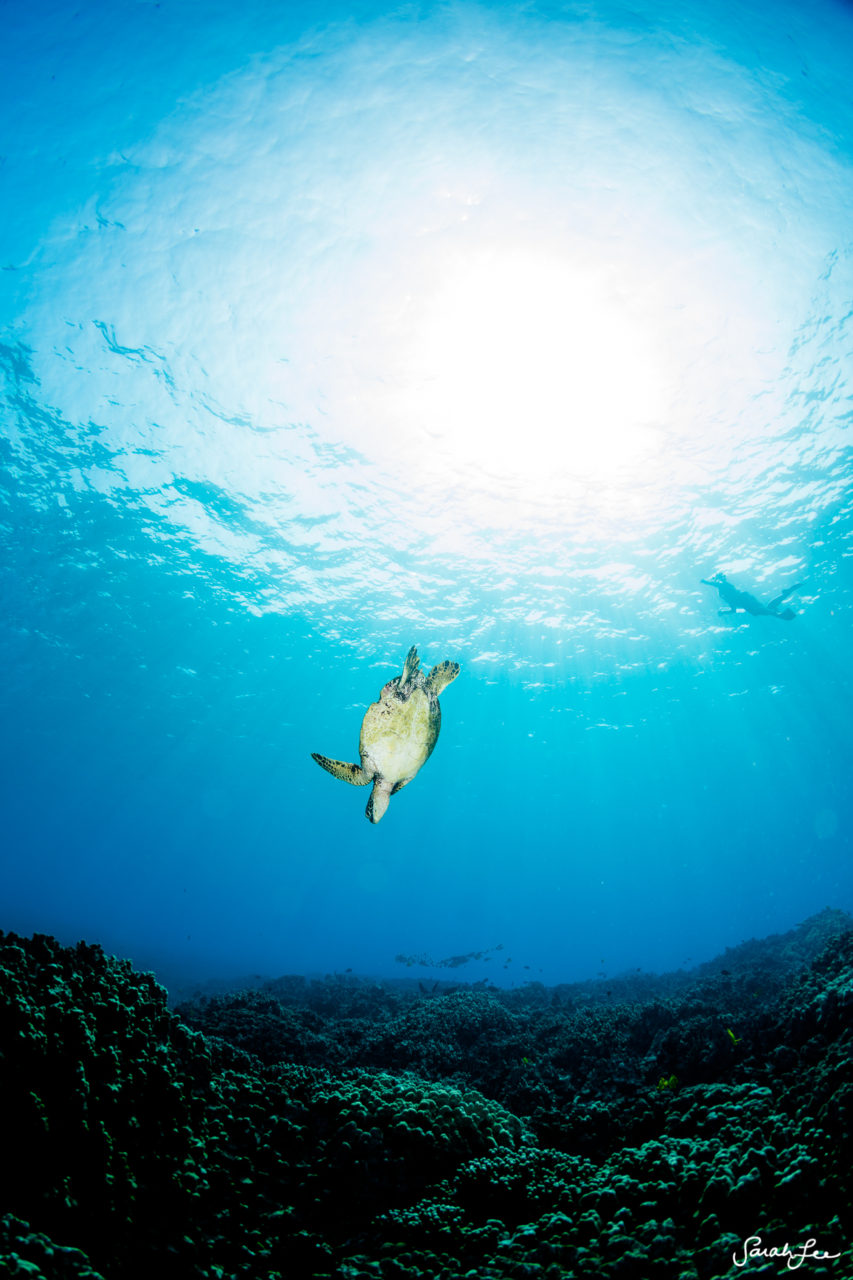 SarahLeePhoto_Underwater_Flash_Photography_Hawaii_3042-853x1280.jpg