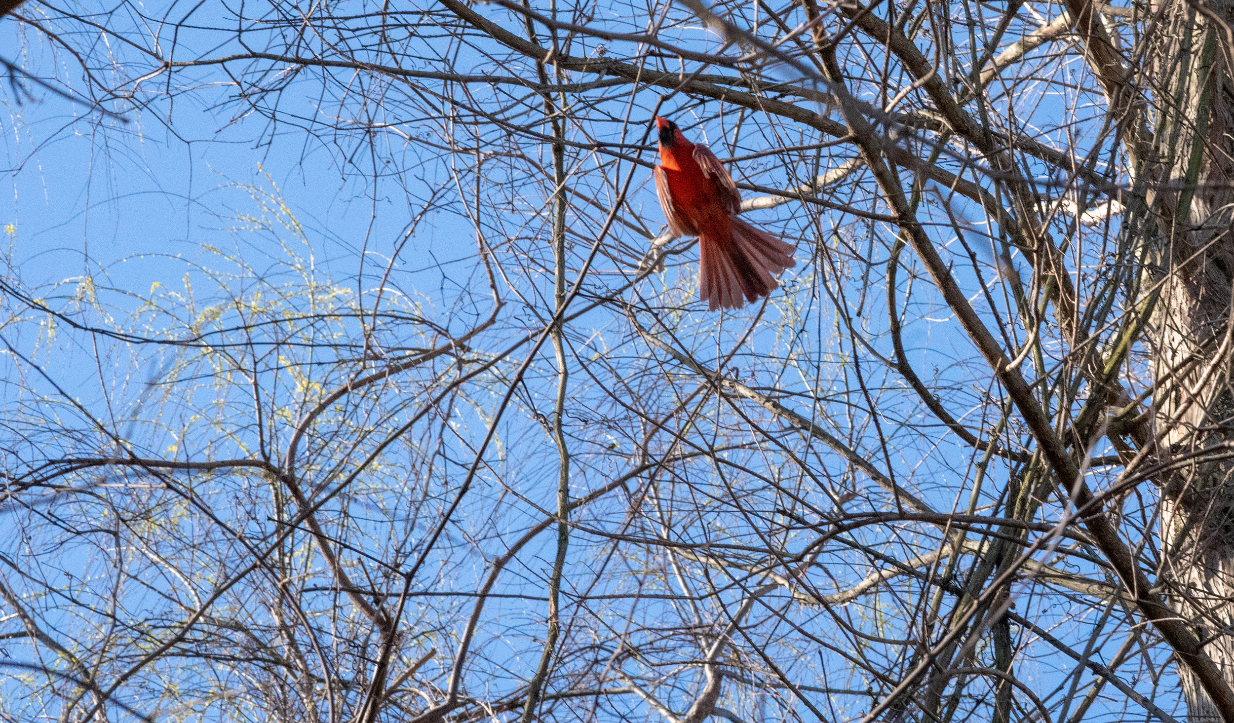 Cardinals (1 of 7).jpg
