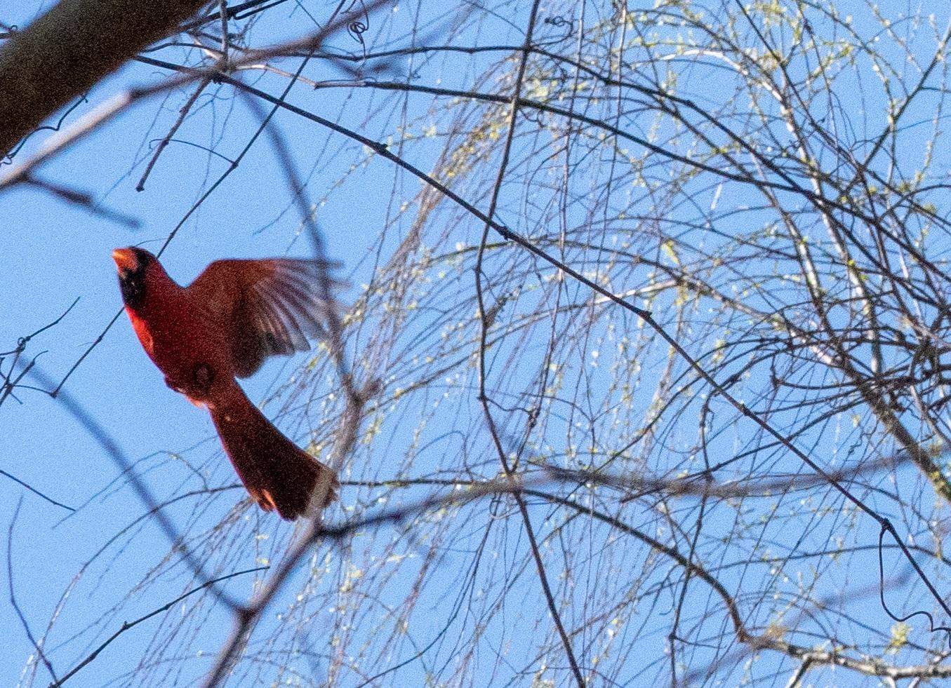Cardinals (2 of 7).jpg