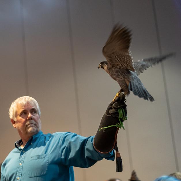 Paraquin Falcon