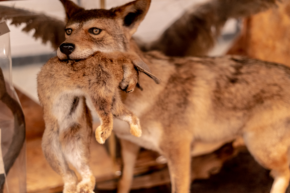 Coyote eating a rabbit