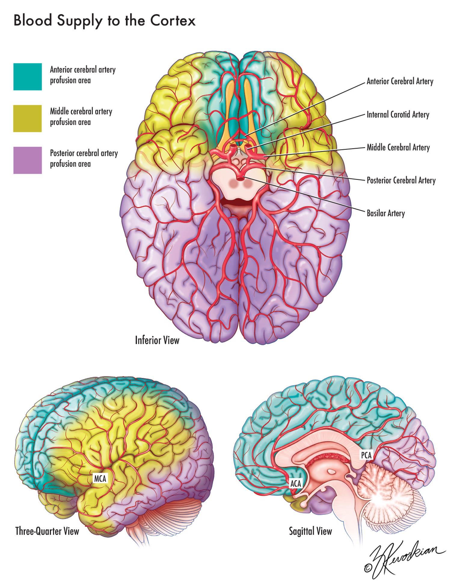 Blood Supply of the Cortex