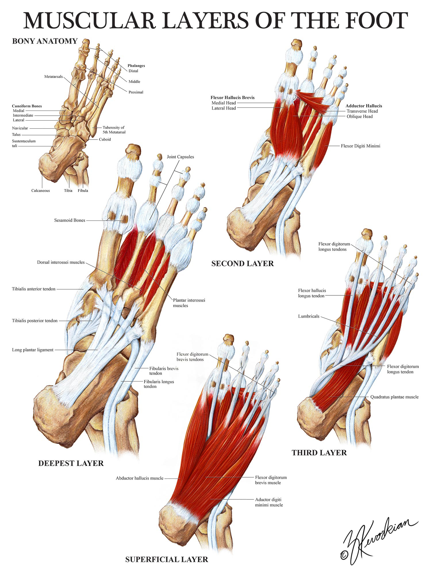 Muscular Layers of the Foot