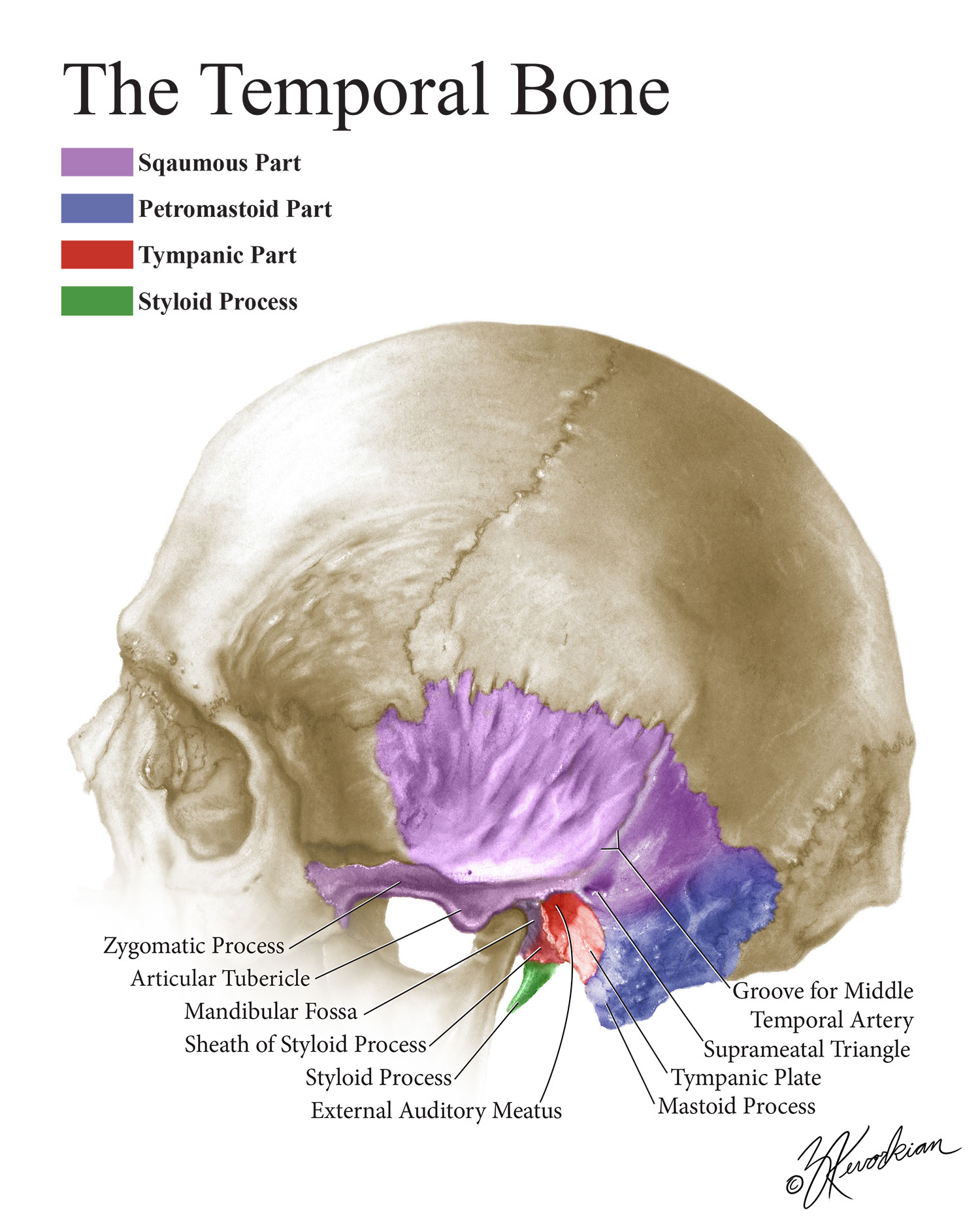 The Temporal Bone