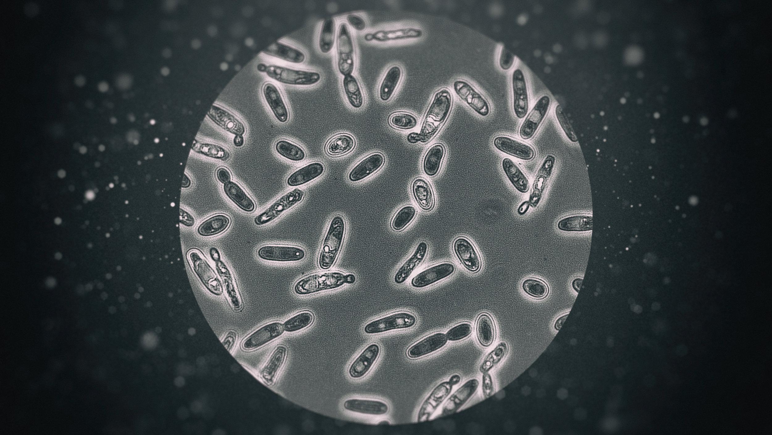 Le contrôle bactériologique - Brettanomyces (Copyright : Photo illo JQ)