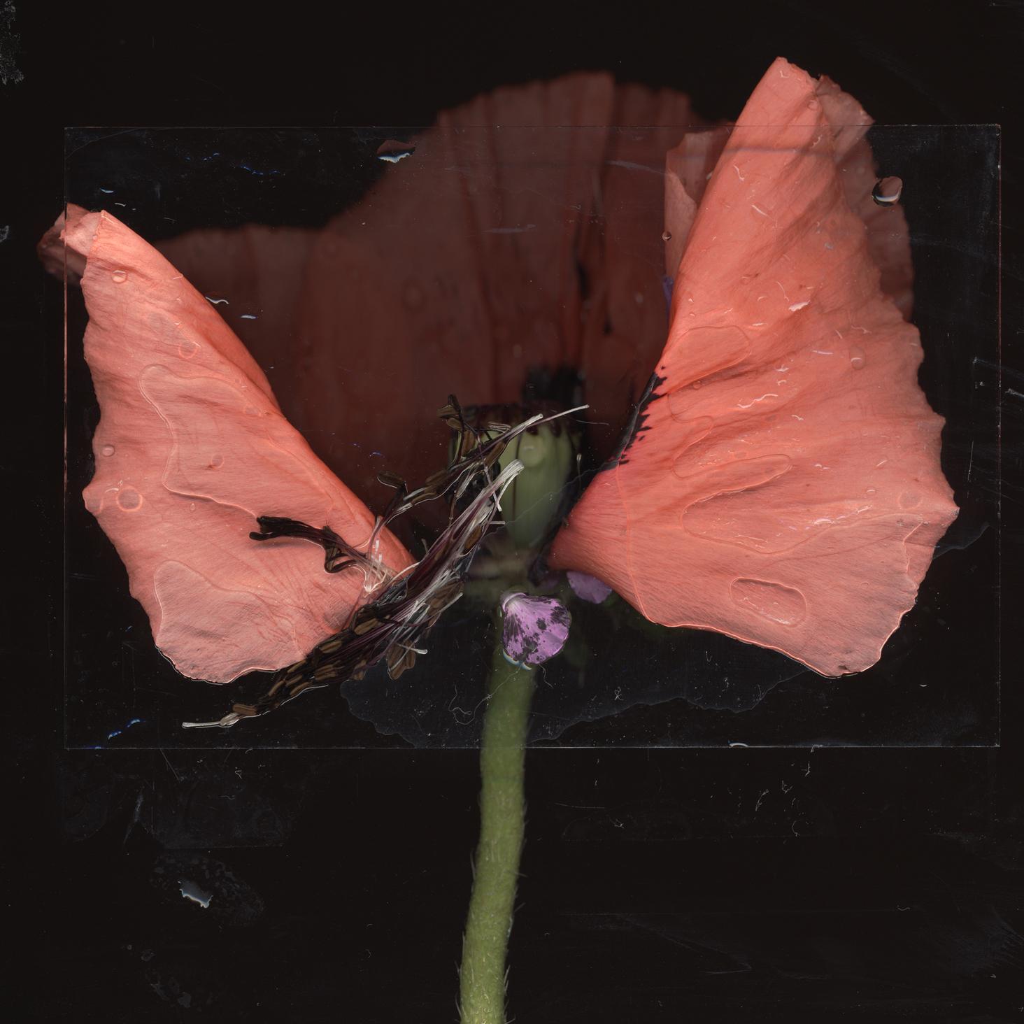dead poppy 1.jpg