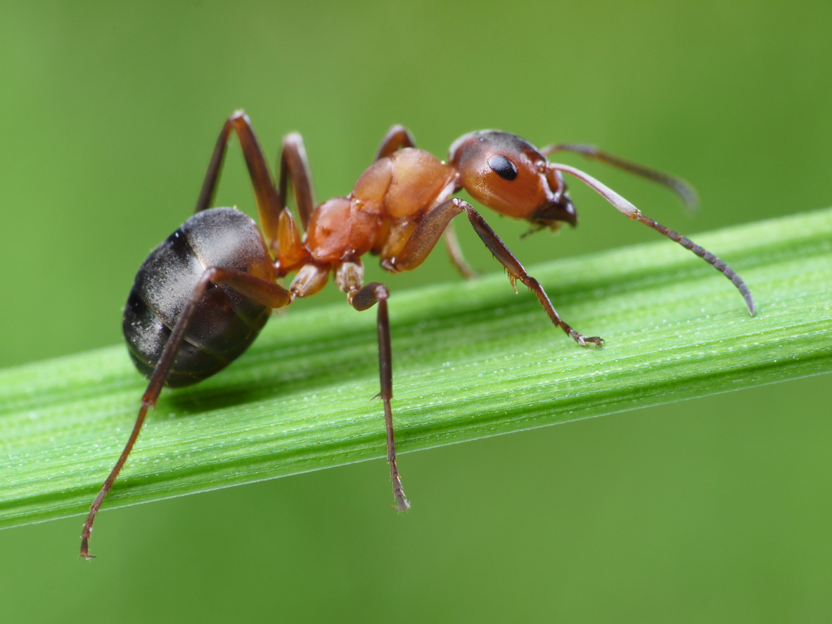 Ant on grass.jpg