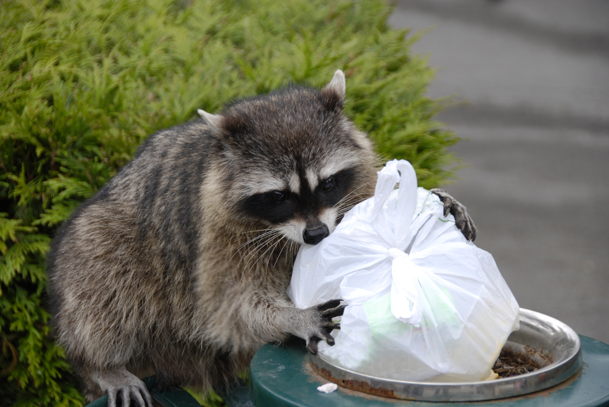 Raccoon in trash.jpg