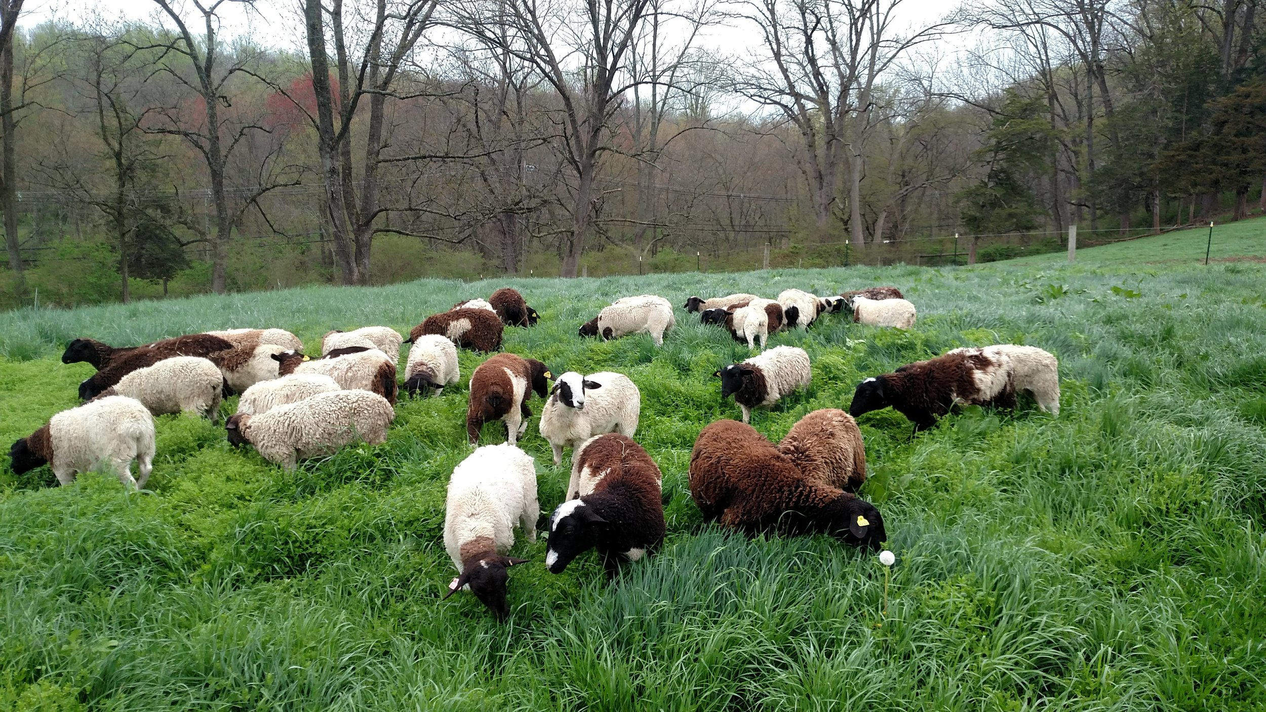 Corné Vogelaar - sheep.jpg