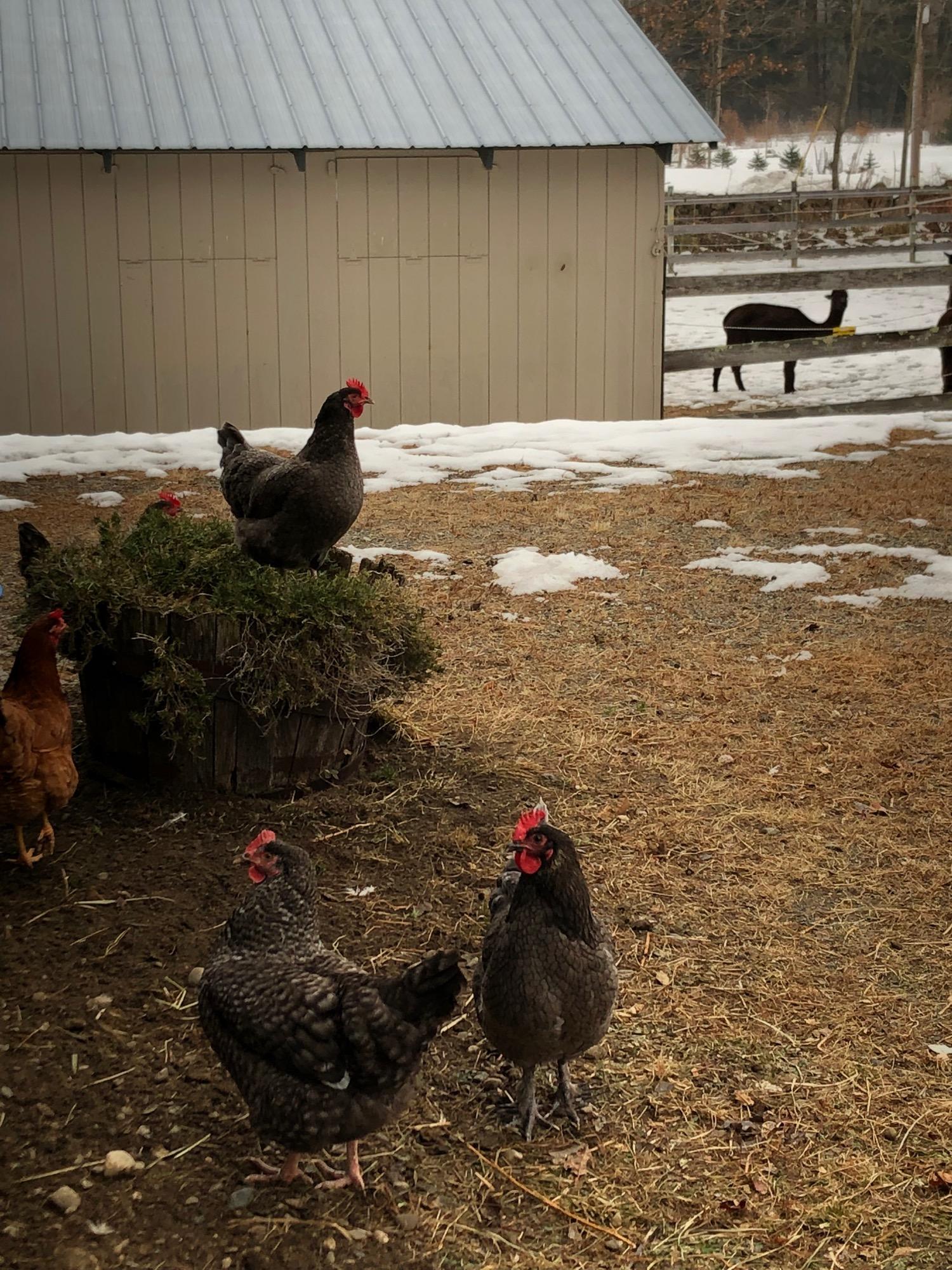 free-range-near-barn.jpg