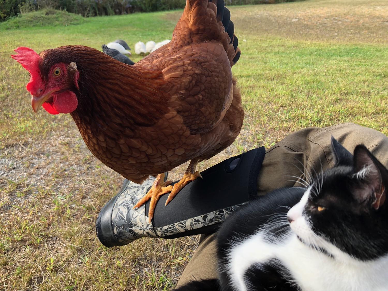 chicken-on-boot.jpg