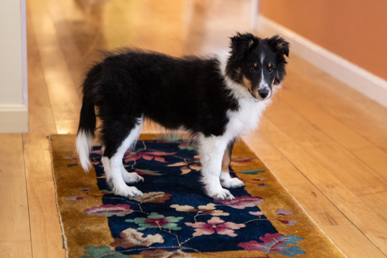 Meet Isabella: Shetland Sheepdog (Sheltie) (18 weeks)