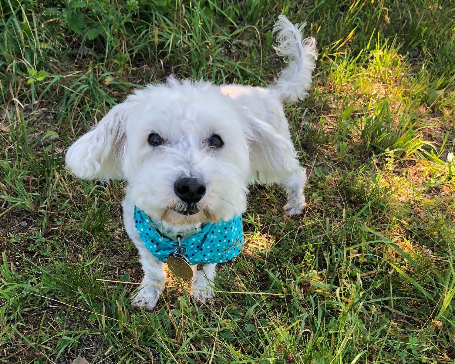 Meet Skip: MALTESE, schnauzer mix (12 years)