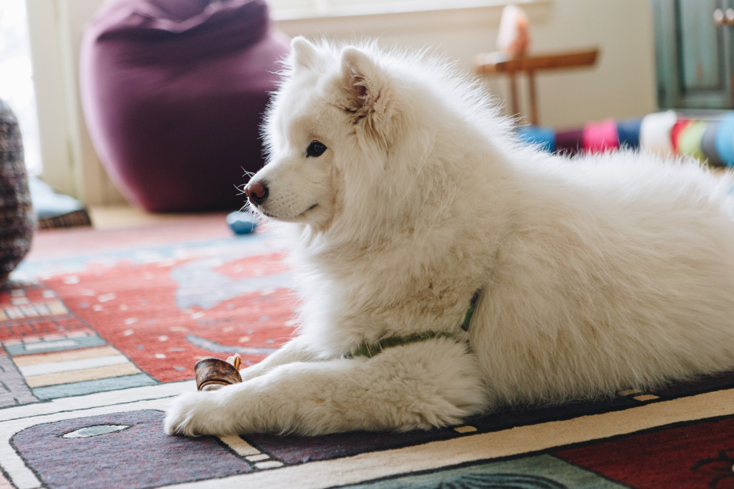 Meet Yurei: Samoyed (5 years)