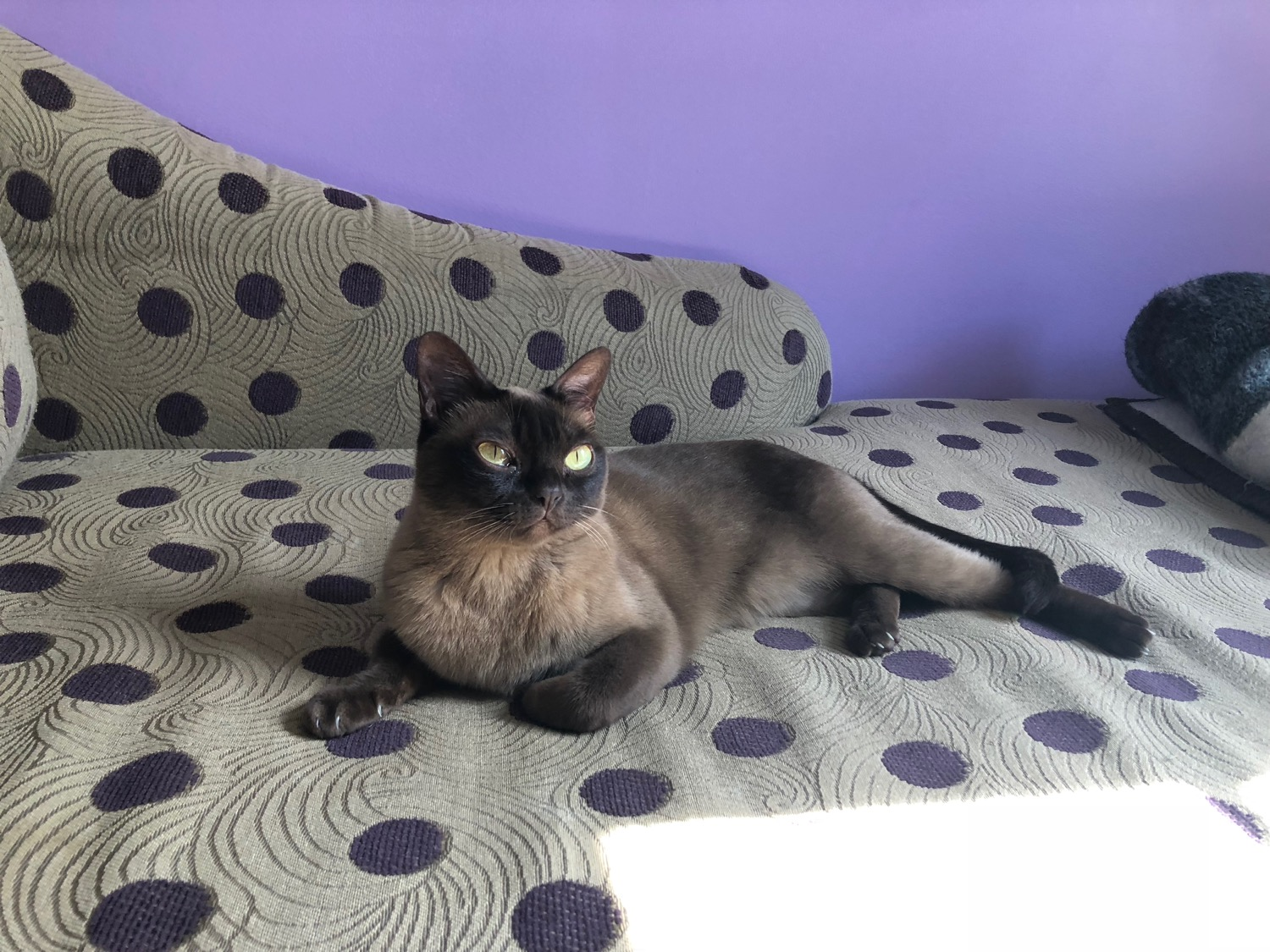 Meet Coco: our Burmese house cat