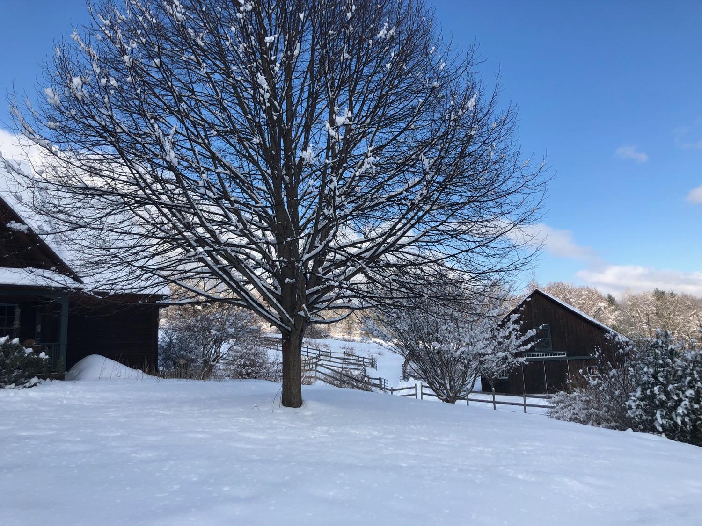 Linden-tree-winter.jpg